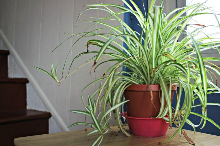 Large spider plant