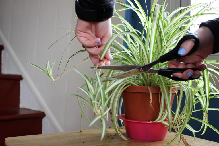 Cutting off a regrowth off the main plant
