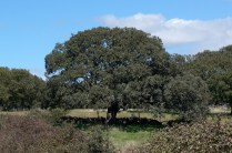 Encina del huerto
