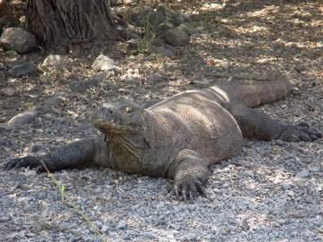 Komodo (48)