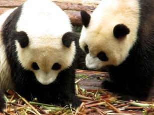 Panda (11)