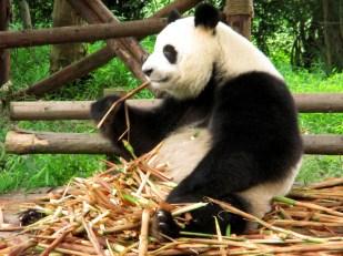 Panda (38)