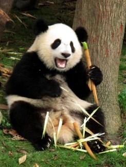 Panda (51)