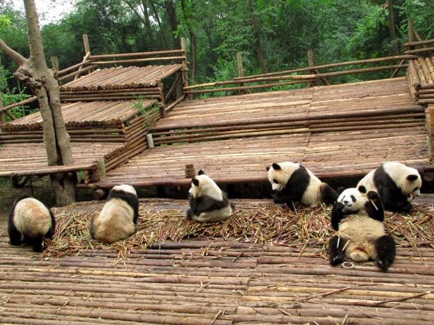 Panda (7)