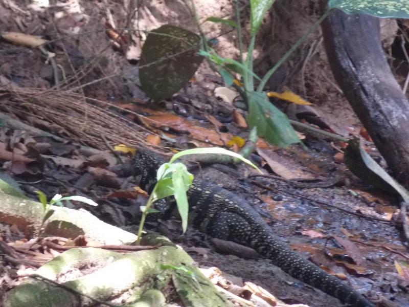 trindade e suas belezas naturais foto de lagarto a beira do rio - Trindade. Belezas naturais praias e cachoeiras em harmonia.