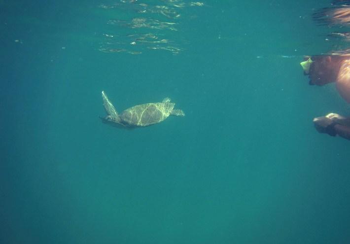 Mergulhando com as tartarugas marinhas da Praia da Palmira, em Ubatuba - SP