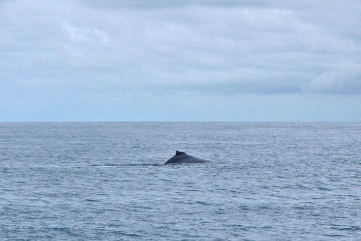 baleia abrolhos