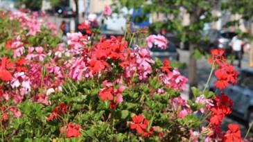 Concello de Ferrol flowers