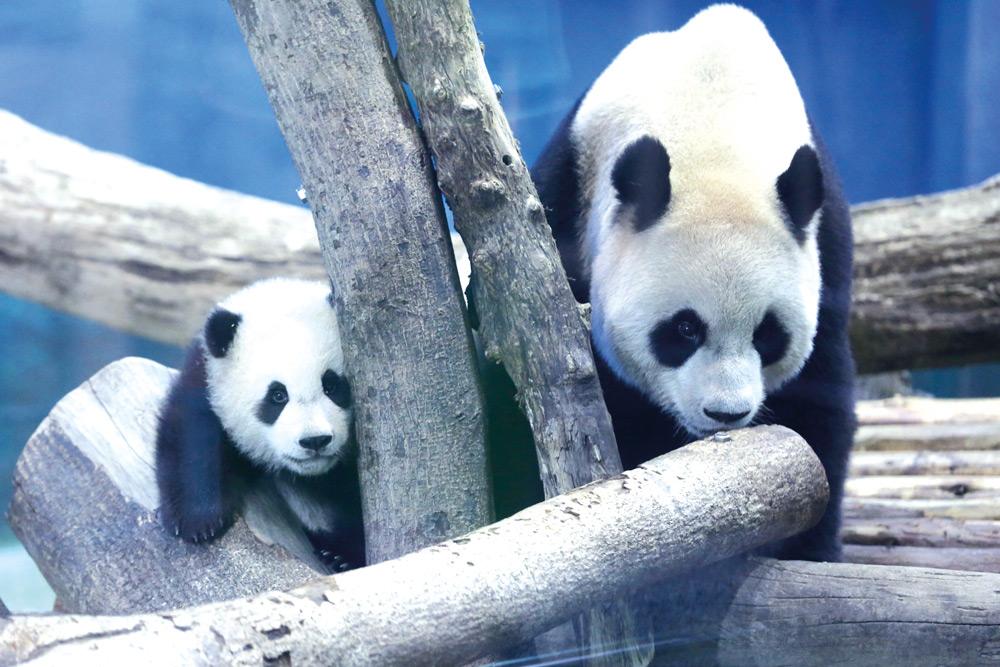 Nace Panda gigante en Taiwan Pesa 60 veces más en seis meses