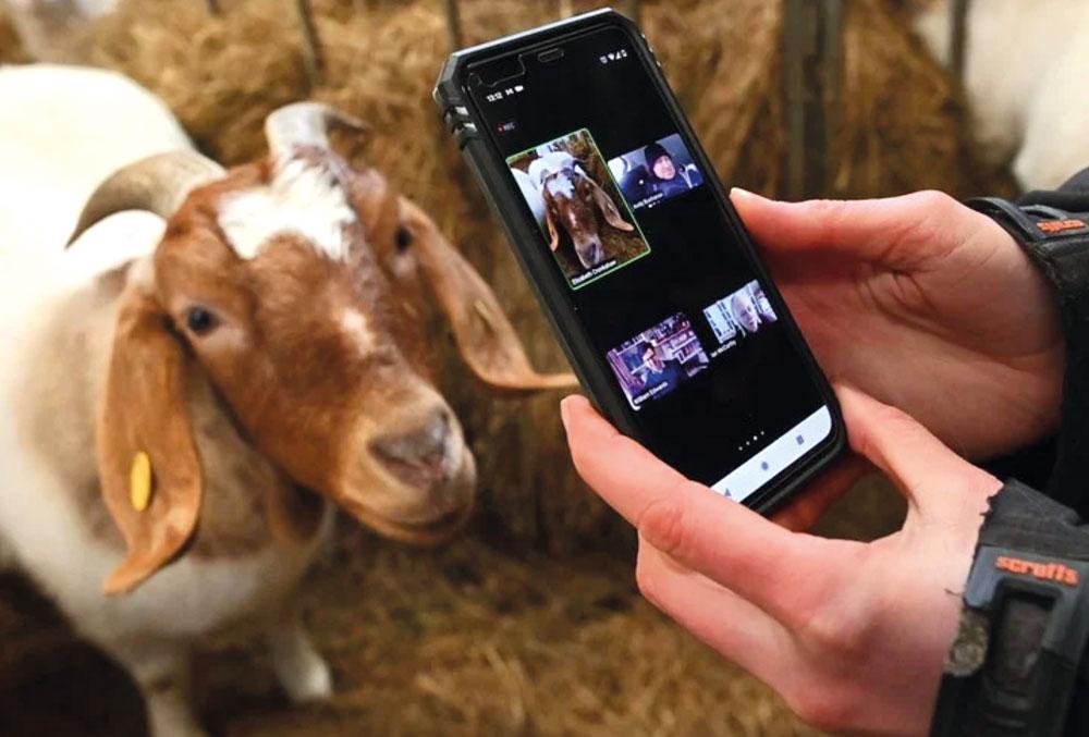Granja alquila cabras para videollamadas