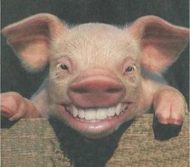 cerdo_reir1