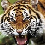 Tigres-Nepal_PREIMA20120731_0193_37