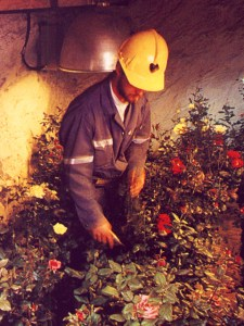 Brent Zettle prunes roses in underground growth chamber (credit: PPS)