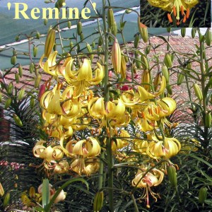 Asiatic Hybrid Lilium 'Remine'