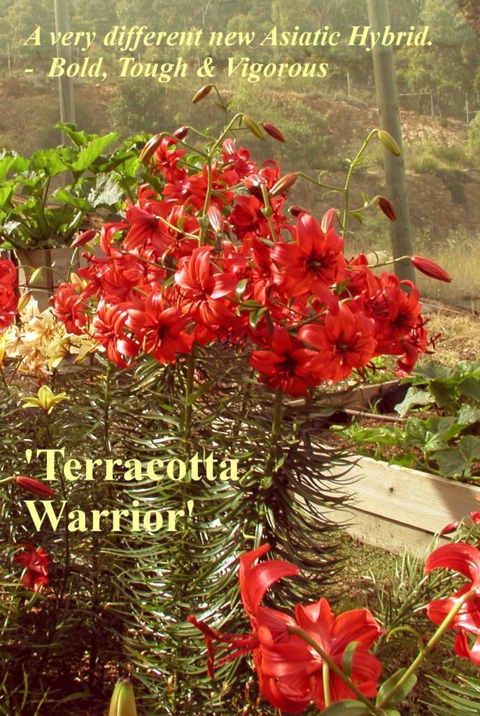 Asiatic Hybrid Lilium