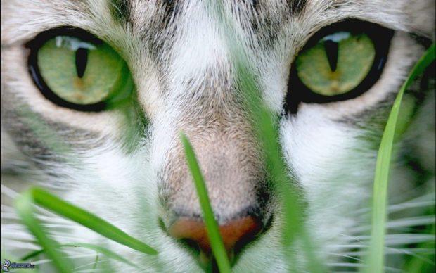 faccia-di-gatto,-occhi-verdi-166916