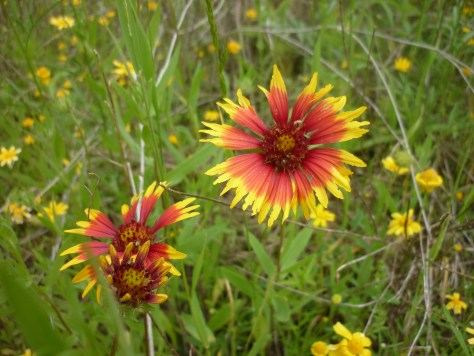 Indian blanket.Gaillardia pulchella