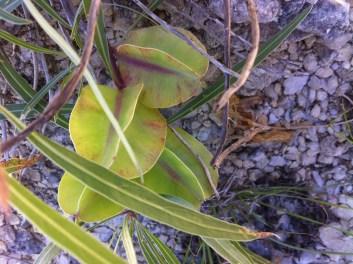 Missouri Primrose seedpods