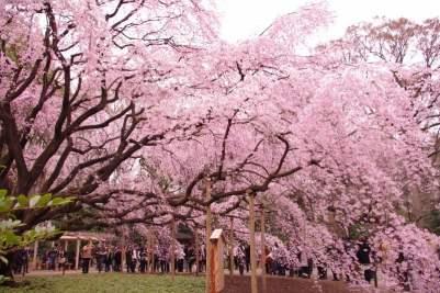 Hoa Anh Đào ở Vườn Lục Nghĩa (六義園 - りくぎえん)Ảnh: rika_n_213