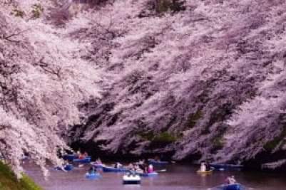 Hoa Anh Đào ở Công viên Chidorigafuchi