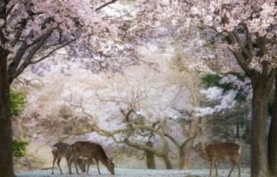 Nara nơi có tượng phật khổng lồ và những chú hươu