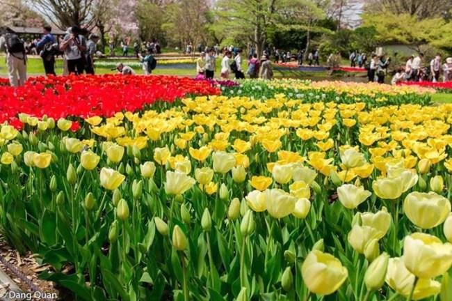 Vườn hoa Tulip đẹp rực rỡ ở công viên Tachigawa Nhật Bản