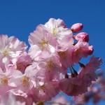 桜の下でお花見BBQ