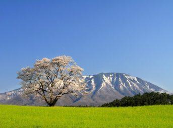 小岩井農場の1本桜