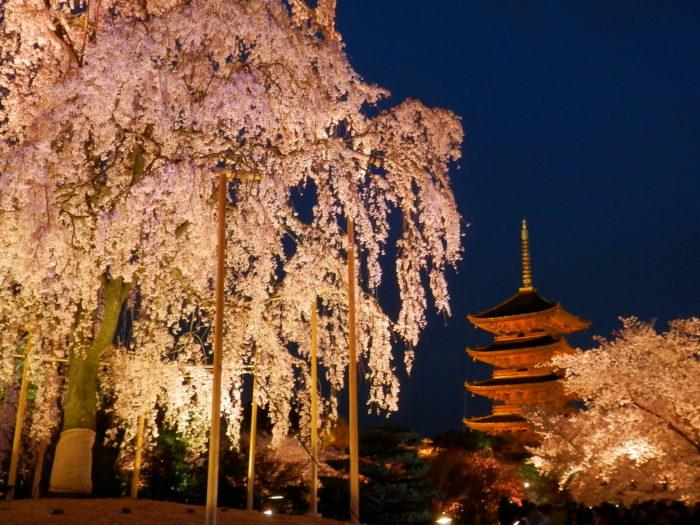 京都でお花見キャンプ