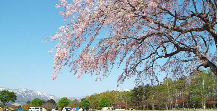 お花見キャンプ 吹上高原キャンプ場
