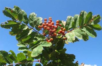 Foglie e frutti della pianta del Sorbo