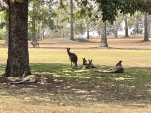 Kangaroos basking in the sun