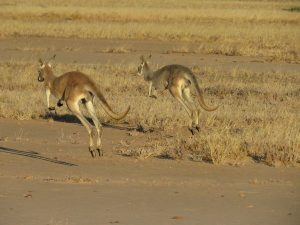 Kangaroos on the hop