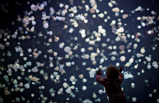 A child watches jellyfish swim in a large tank at the Vancouver Aquarium in Vancouver