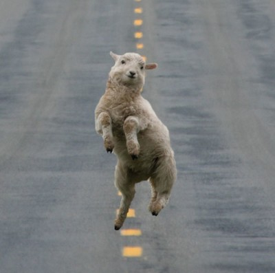 dancing sheep