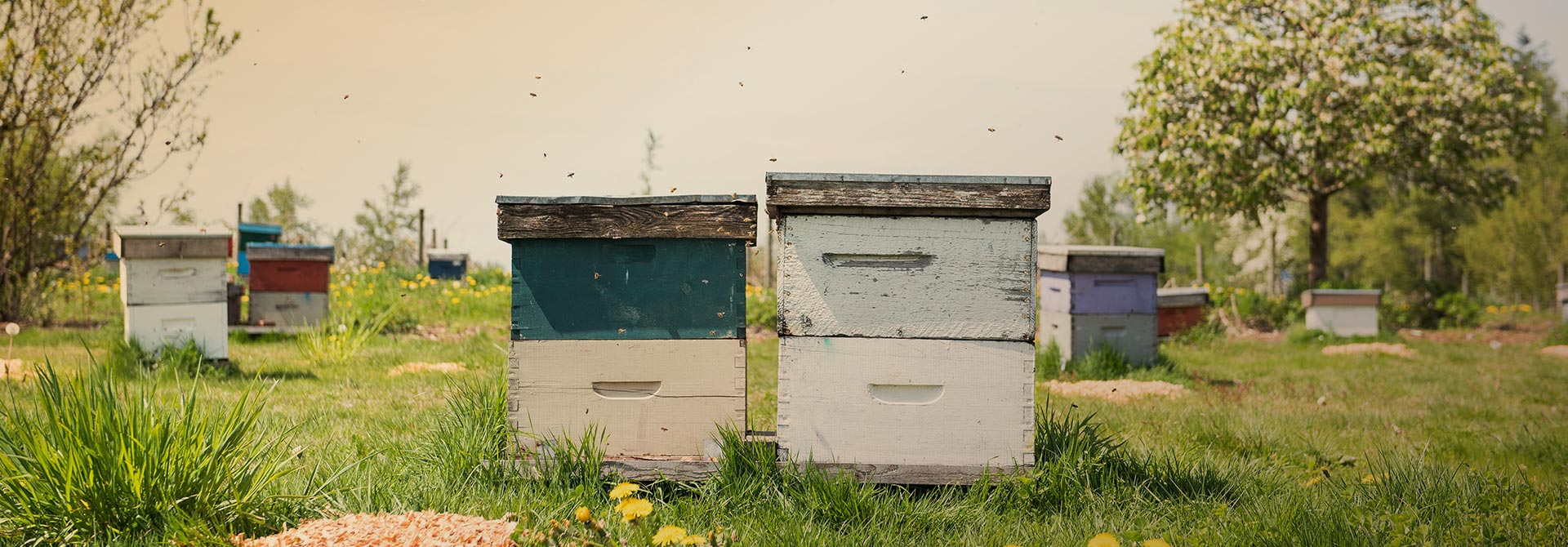 Apiary Beehives - Campbell's Gold