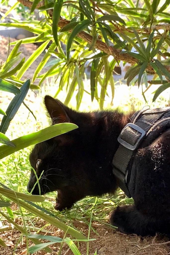 草食べる猫