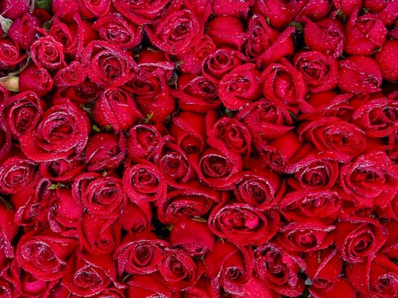 薔薇の花99本