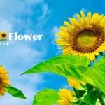 ひまわりの情熱的な花言葉「あなただけを見つめています」を添えて大切な人に贈る