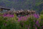 Stockfischköpfe auf den Lofoten