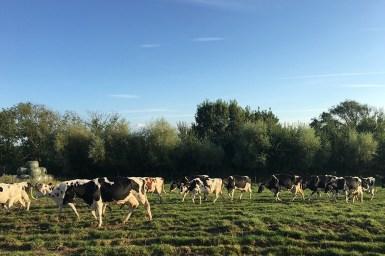 Kühe kommen nach Hause