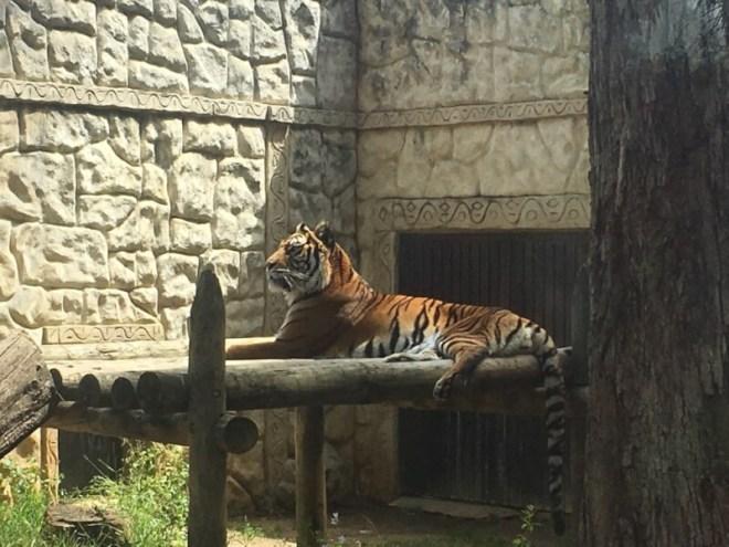 Een eenzame tijger
