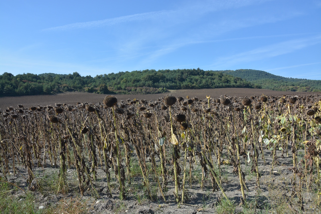 Sunflowers ready for harvesting