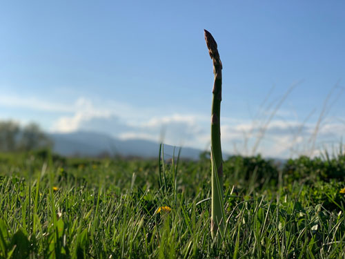 asparagus peeking out of the grass