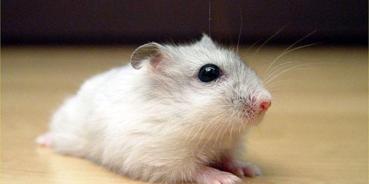 7 Langkah Cara Ternak Hamster Di Rumah Yang Benar