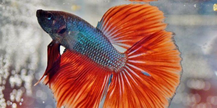 Mengenal Ikan Cupang Slayer Yang Menjadi Primadona