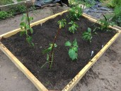 Here are our tomatillos, peppers, and tomatoes!