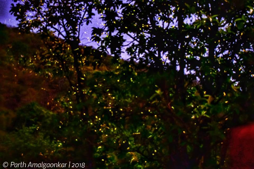 Gallery_Fireflies_4