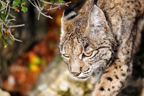 El lince ibérico es la estrella del Parque Natural Sierra de Ándújar.