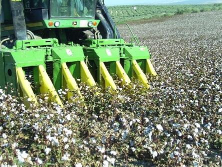 En la comarca de Andújar existe una alta producción de algodón.